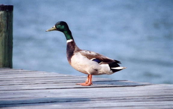 Image: mallard duck on pier.