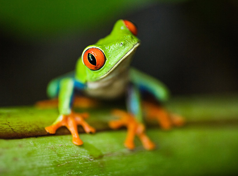Image: close-up photo of little green frog