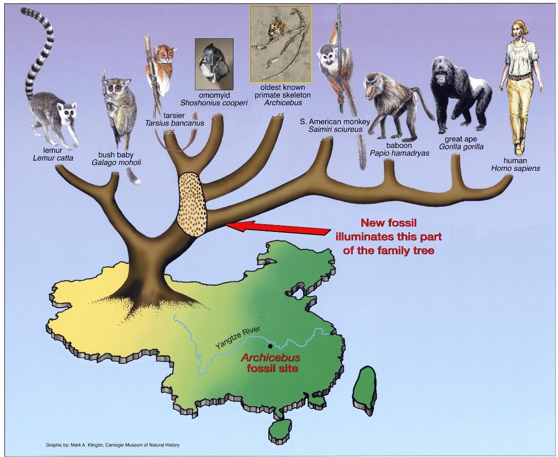 'Missing link'? Oldest primate skeleton tells new tale of our origins