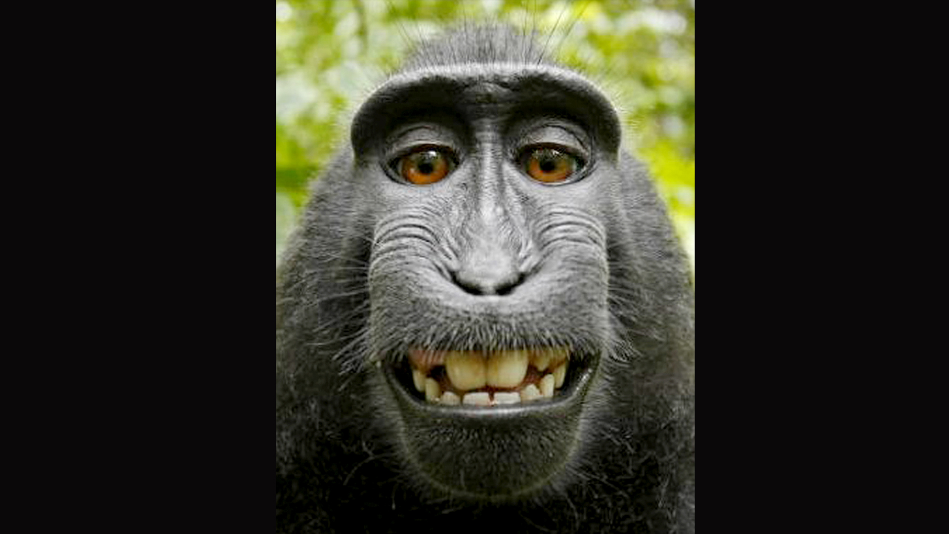 monkey selfie copyright lawsuit settled after deal reached nbc news