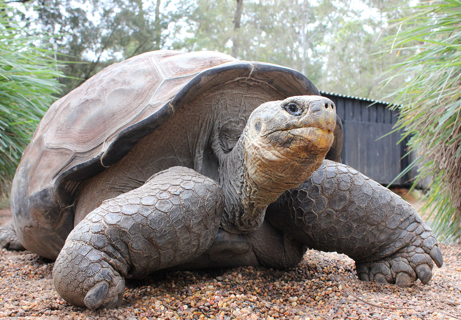 Pictures of pinta island tortoise