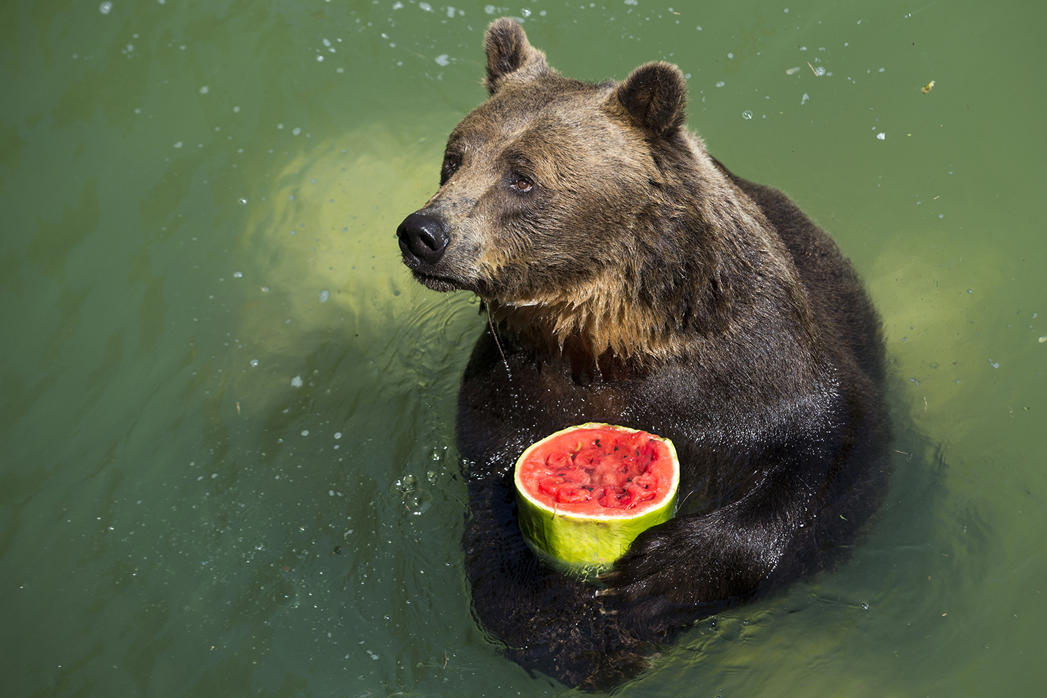 Bears Are Turning Vegetarian Due to Climate Change | Food ...  |Brown Bear Food