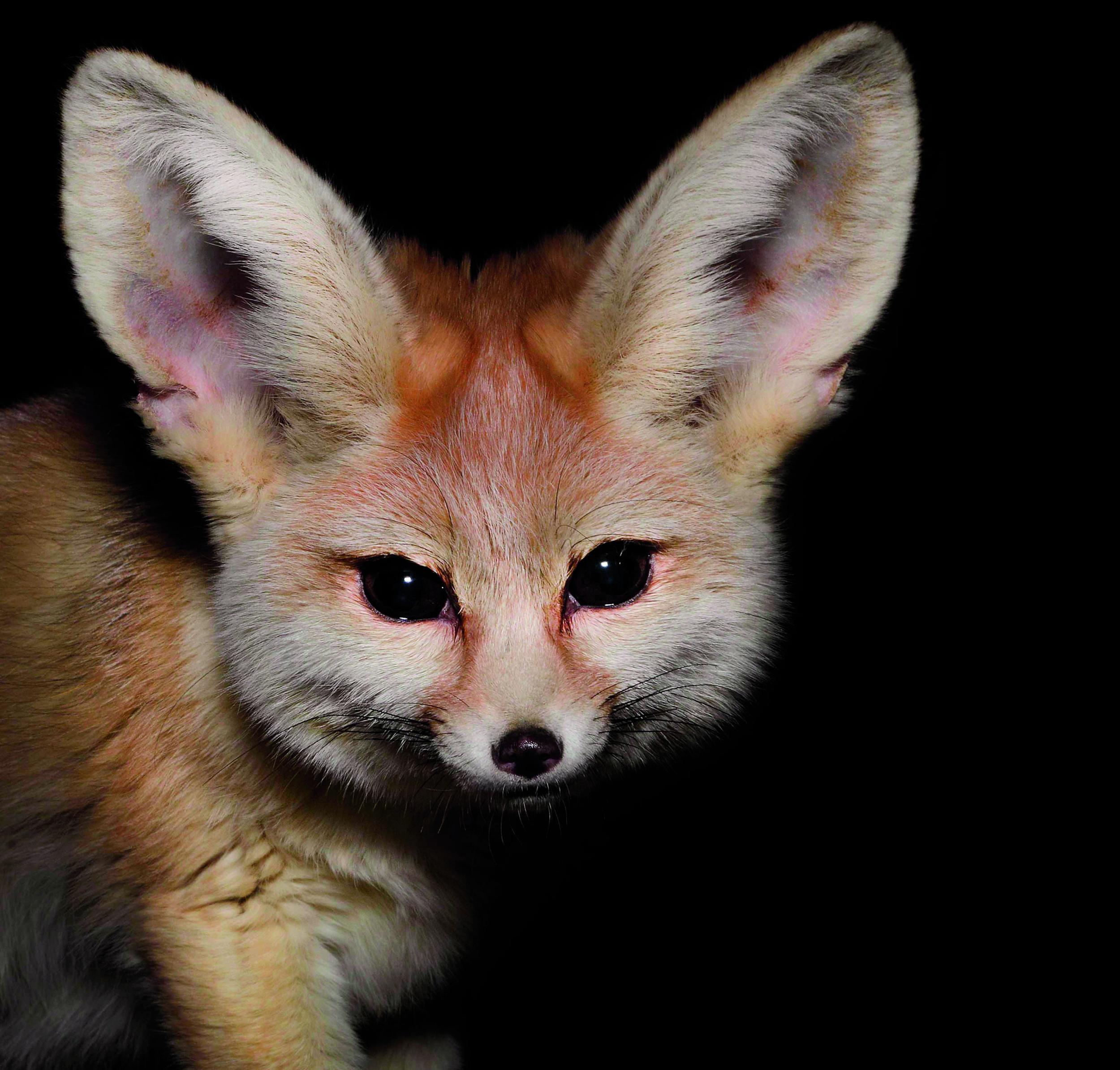 روباه شب فعال