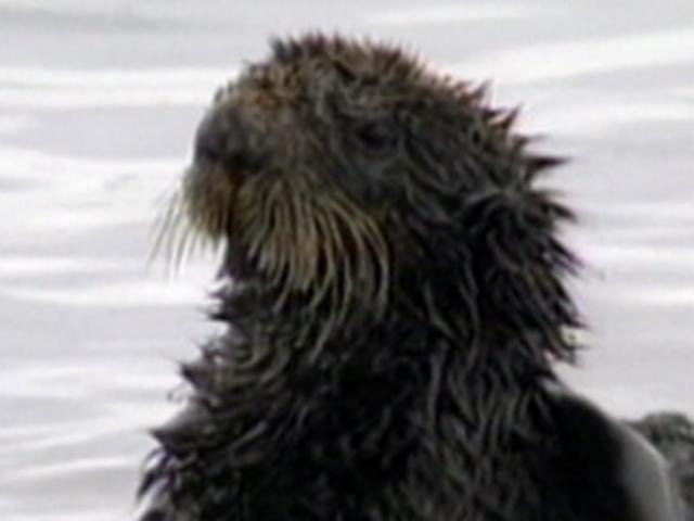 Environmental wounds from Valdez still fresh