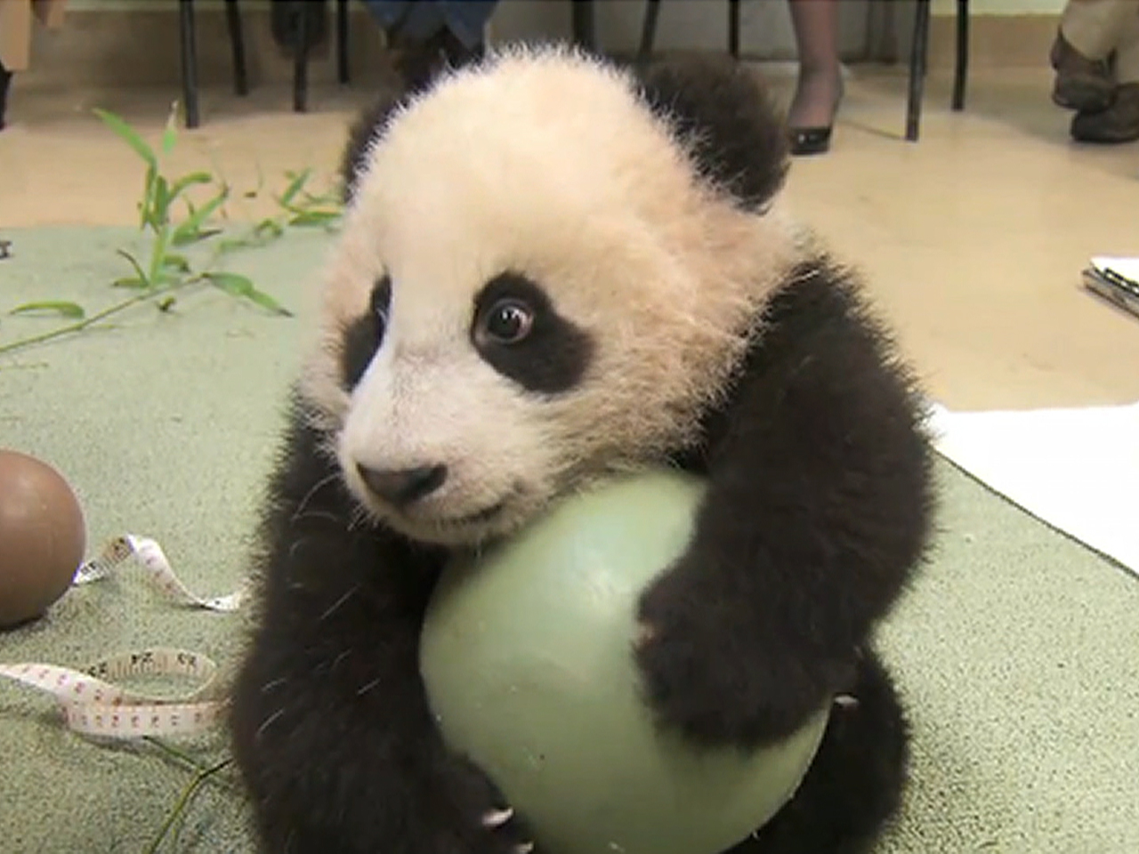 Bobbling Baby Panda Plays With Toy Ball