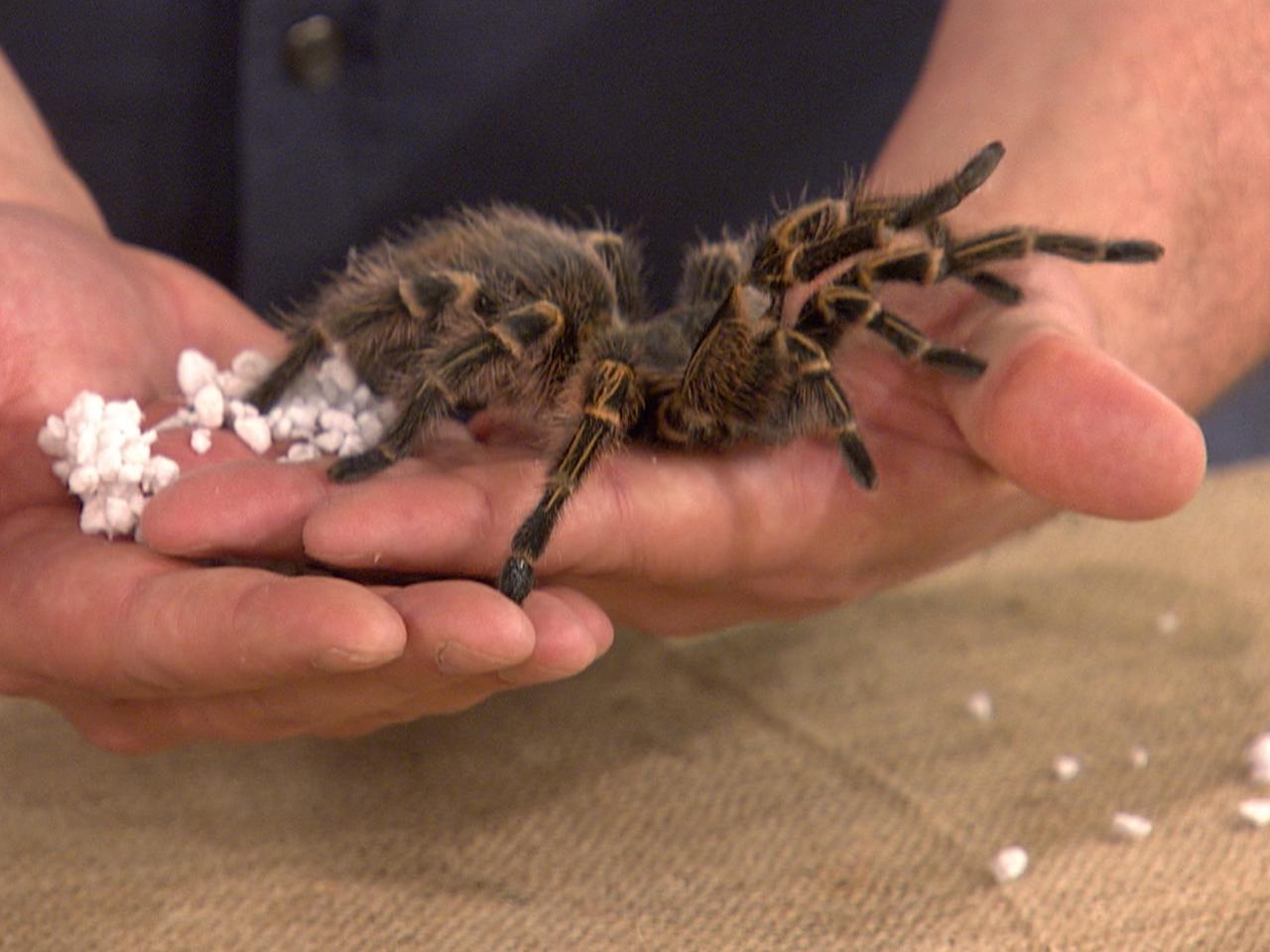 Venomous, Tree-Dwelling Spiders Surprise Scientists