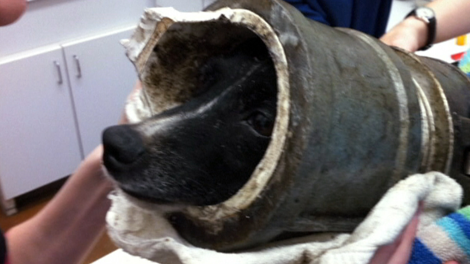 dog chases squirrel gets head stuck in pipe   today