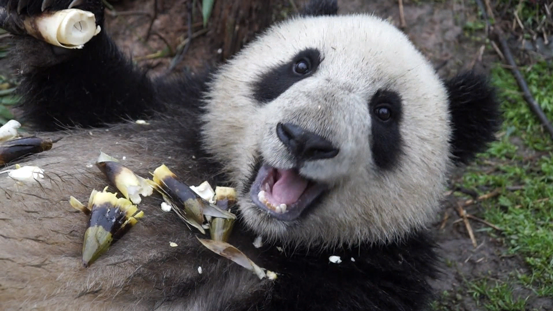 endangered pandas report Endangered species report the endangered animal i picked was the ailuropoda melanoleuca the common name is the giant panda they are playful, poor breeders, and they are becoming extinct because of many things.