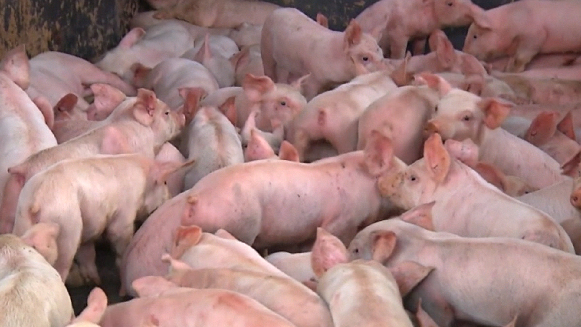 wee wee wee hundreds of baby pigs loose in ohio