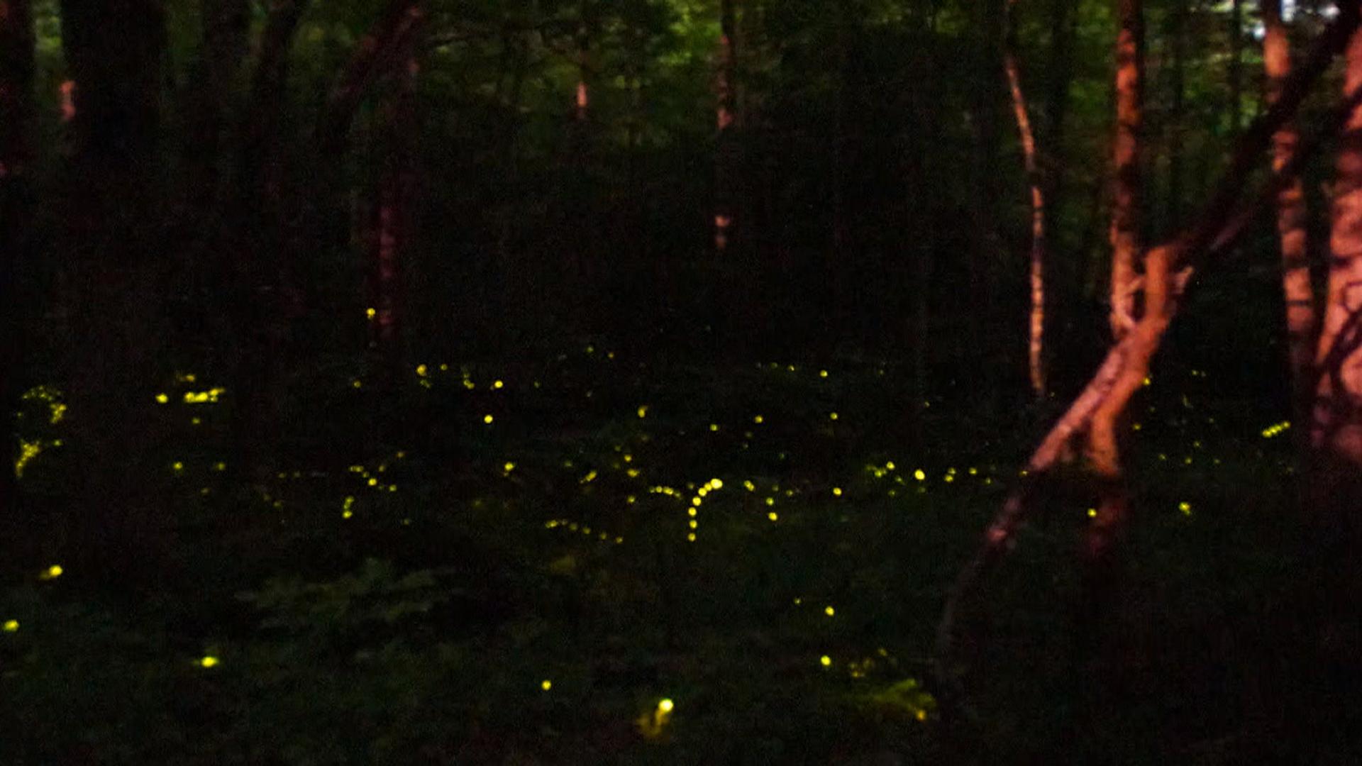 Watch: Fireflies create mother nature's light show - TODAY.com