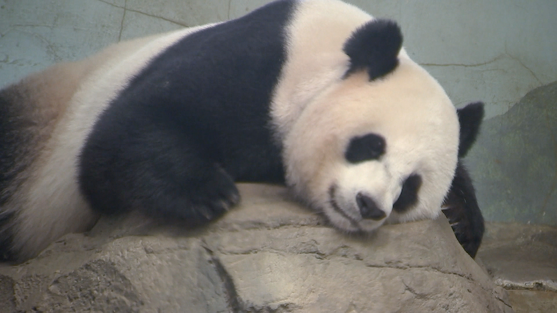 Surprise! National Zoo's Panda Mei Xiang Gives Birth to Second Cub