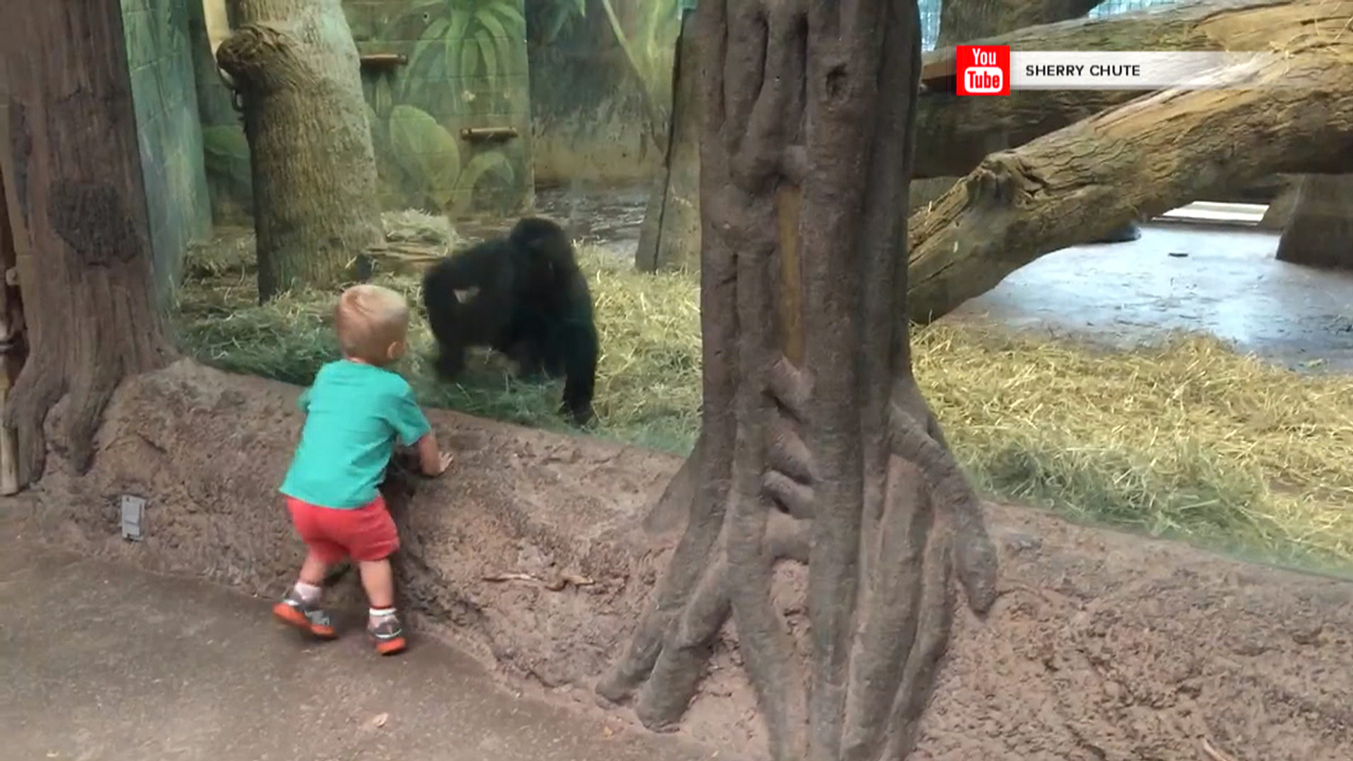 boy and gorilla play at zoo scary