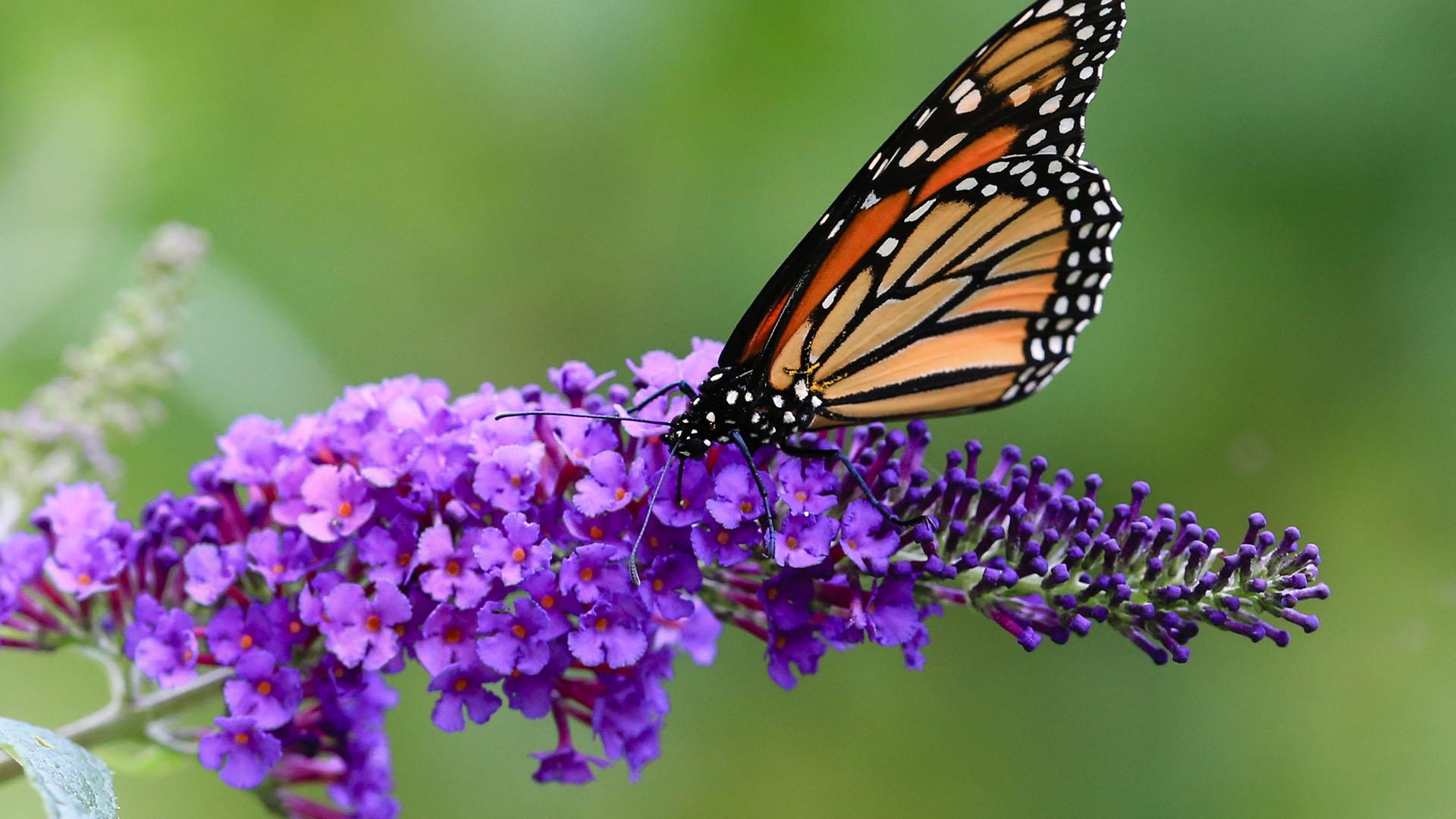 The North American Monarch Butterfly is in Danger of Becoming 'Quasi-Extinct'