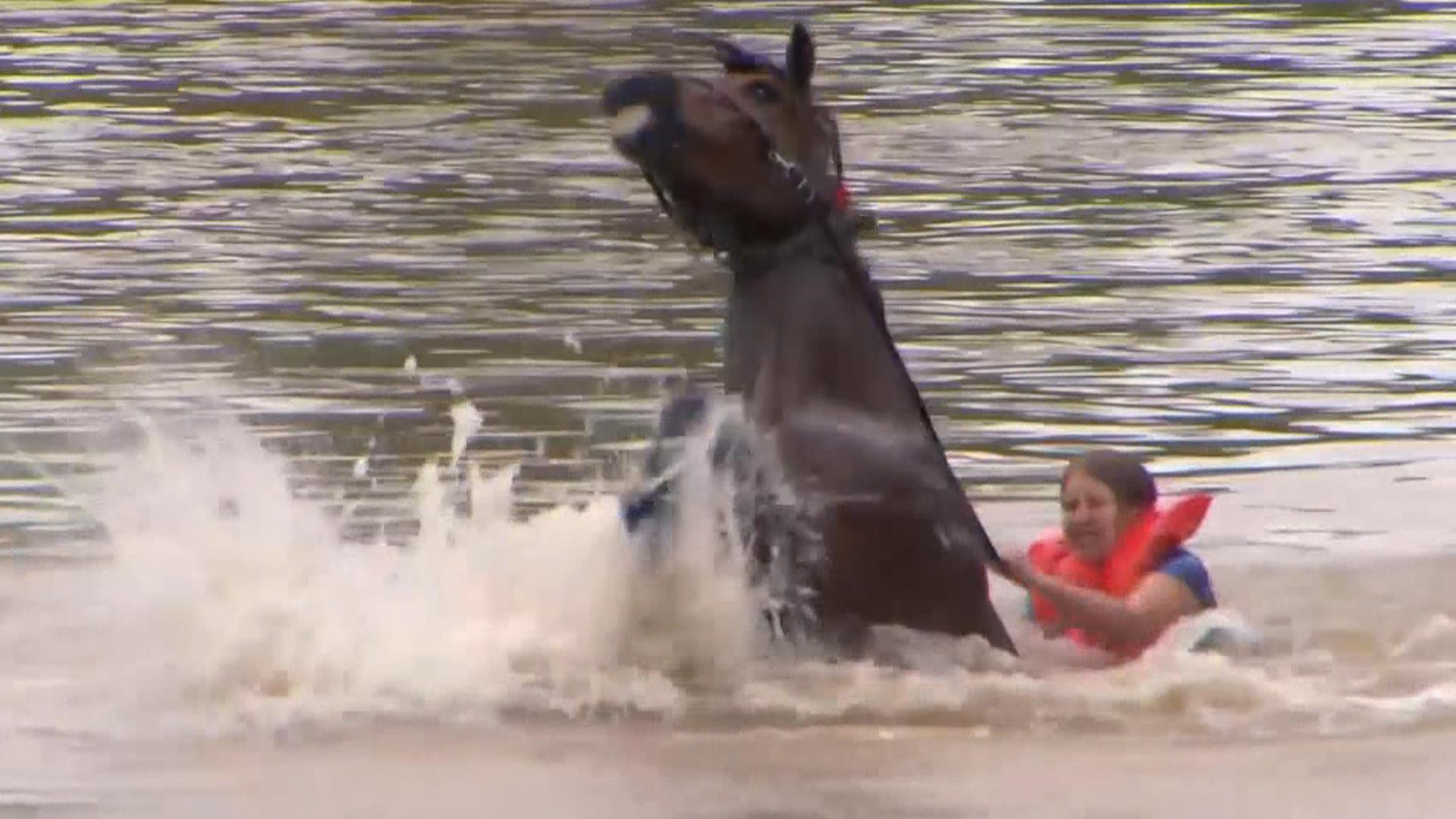 Woman Rescues Horse From Floodwaters Nbc News