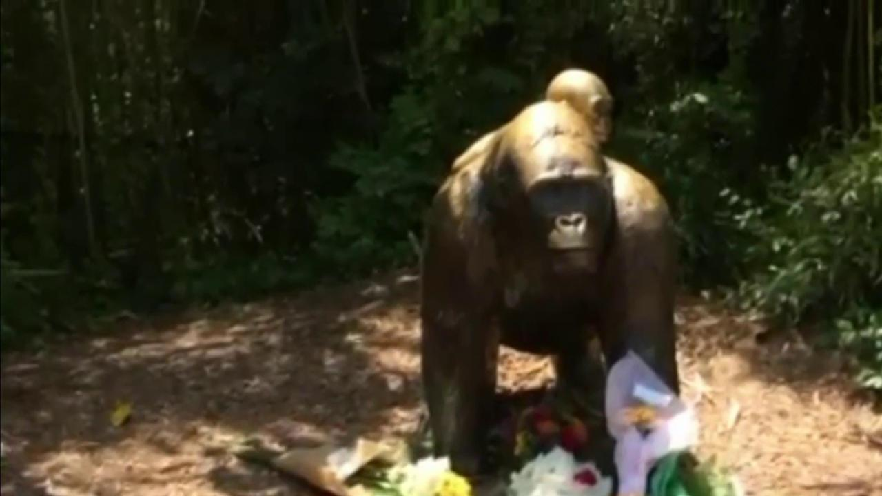 Zoo stands by decision to kill gorilla