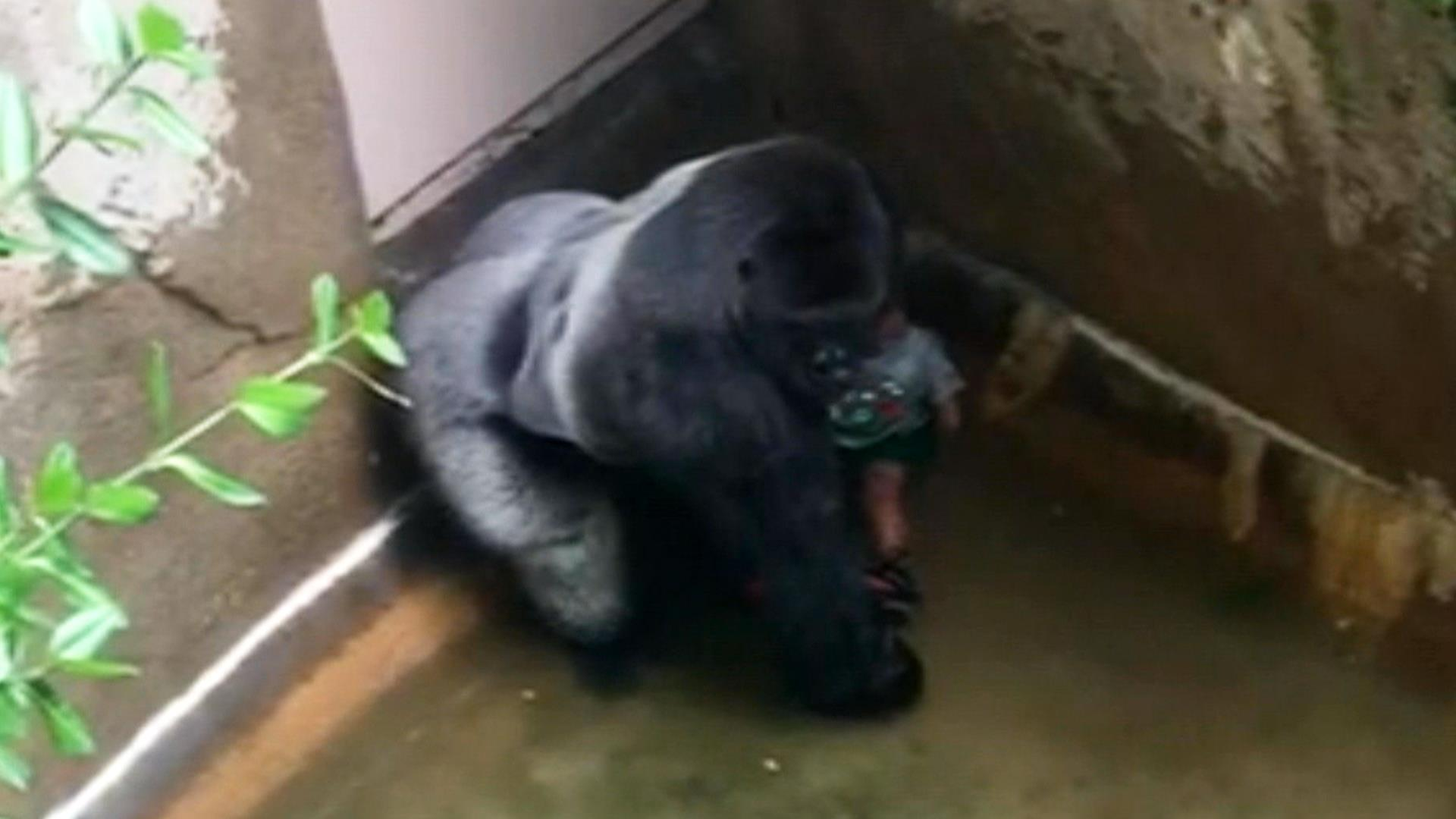 Outrage Grows After Gorilla Harambe Shot Dead at Cincinnati Zoo to Save Tot