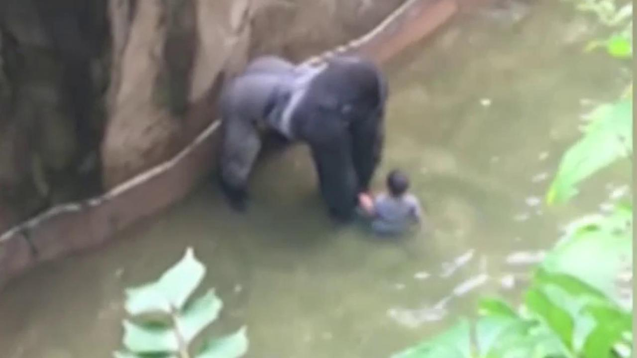 Justice for Harambe creator on gorilla death