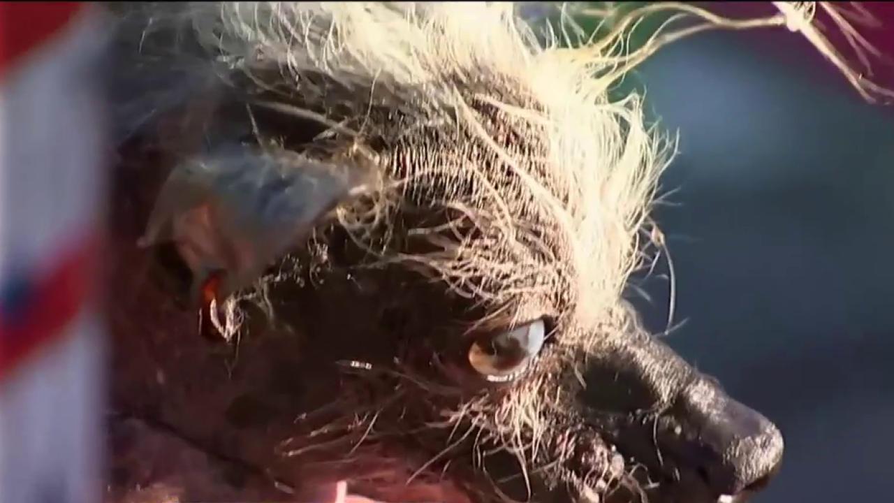 Meet this years Worlds Ugliest Dog