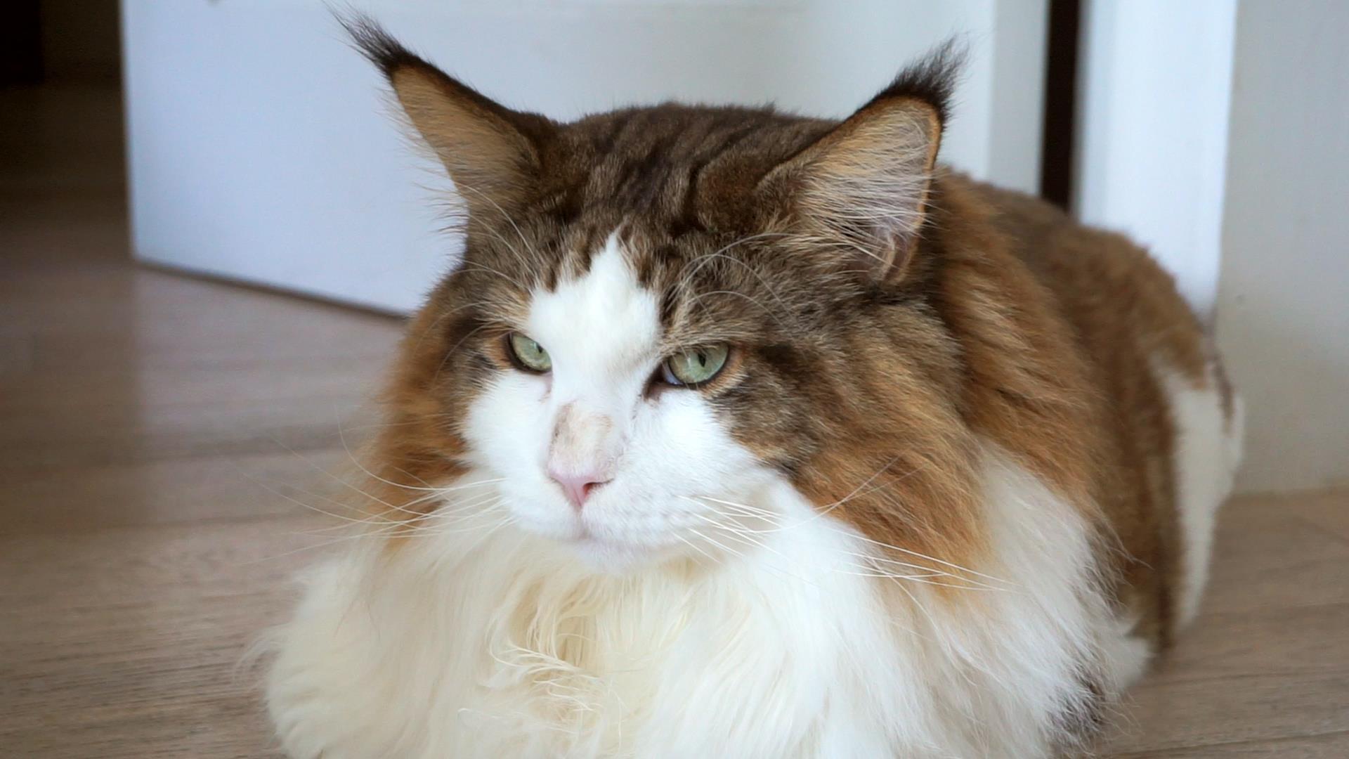 New Yorks biggest cat, Samson, takes internet by storm