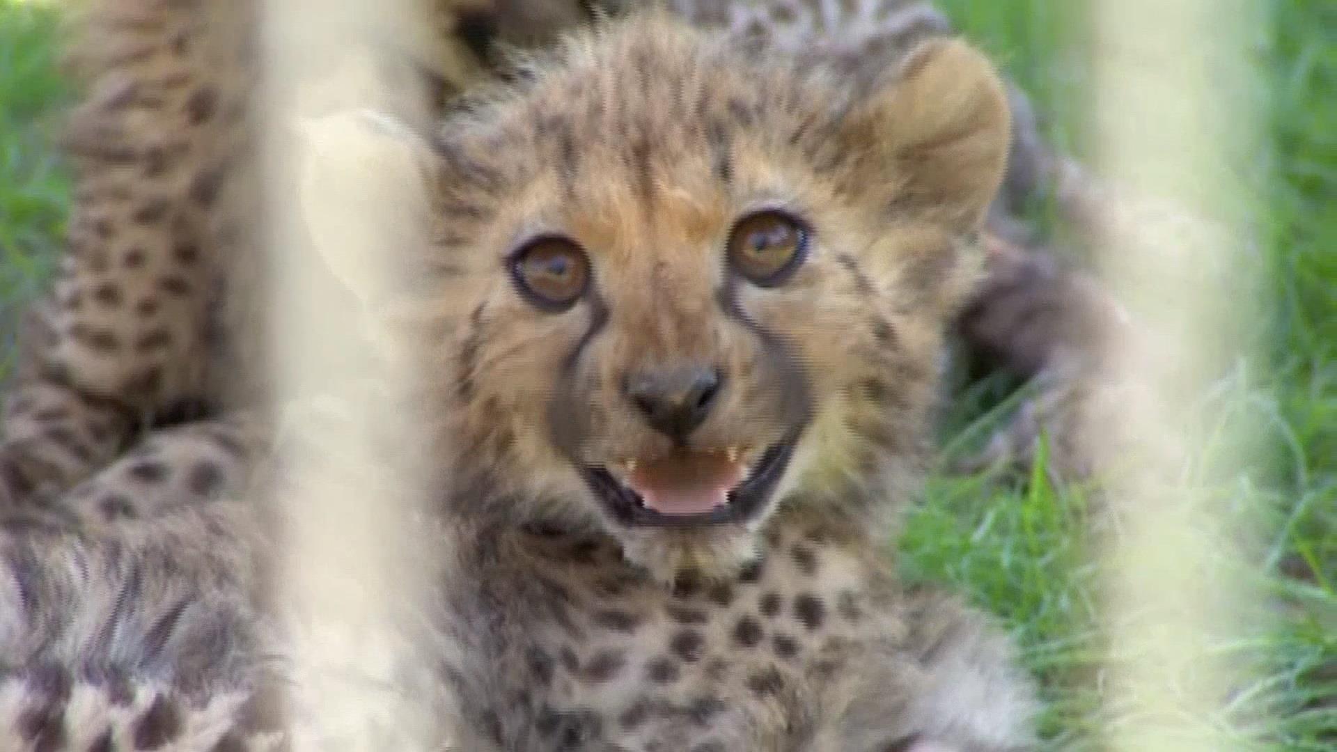 Baby Cheetahs Make Debut At Polish Zoo