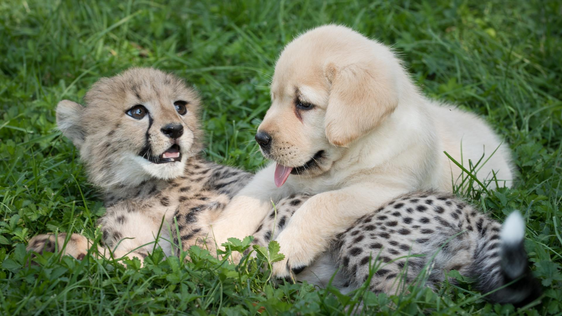 This adorable puppy and cheetah love hanging out TODAY