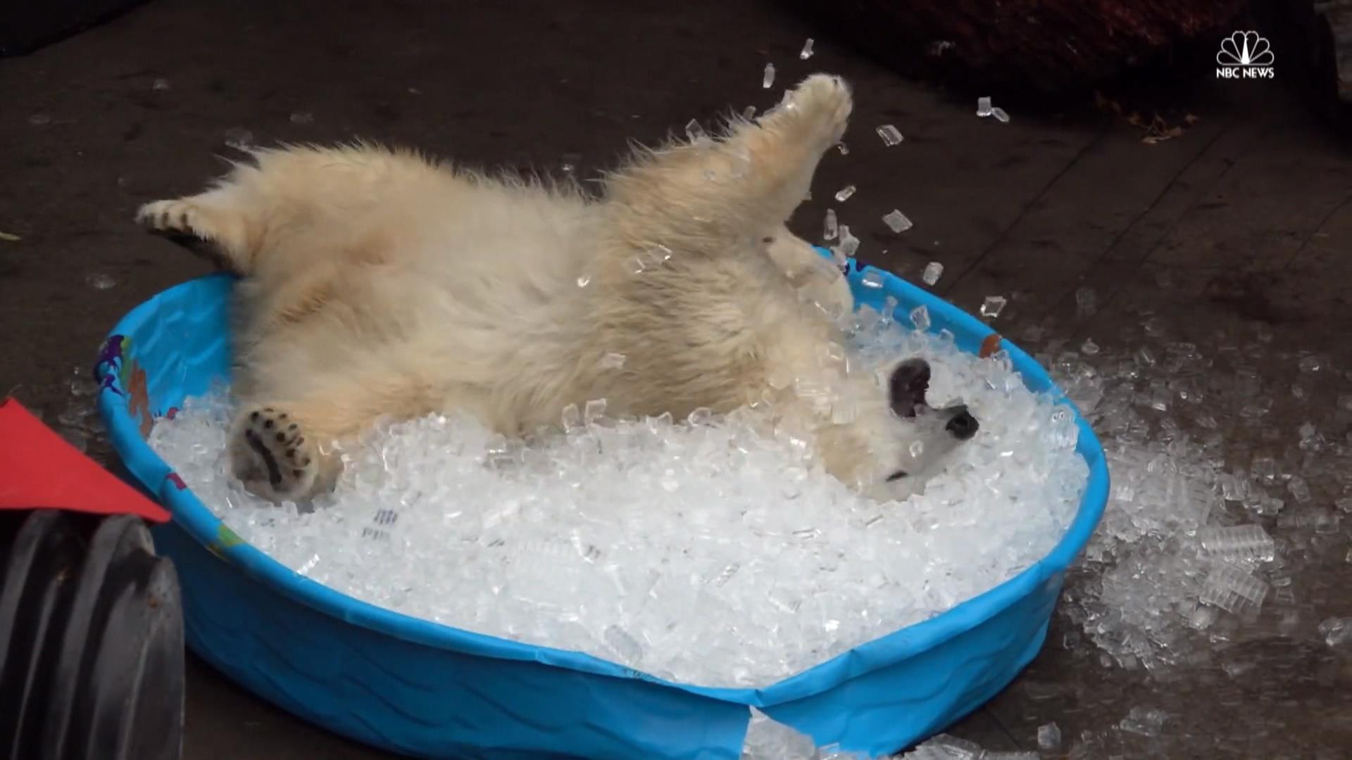 Watch This Polar Bear Cub Going Crazy Over A Pool Of Ice