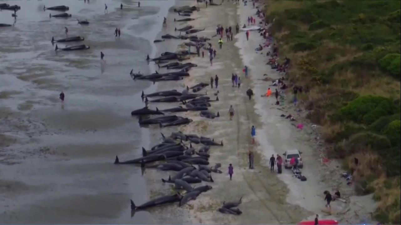 Volunteers In New Zealand Race To Save 17 Whales Stranded After