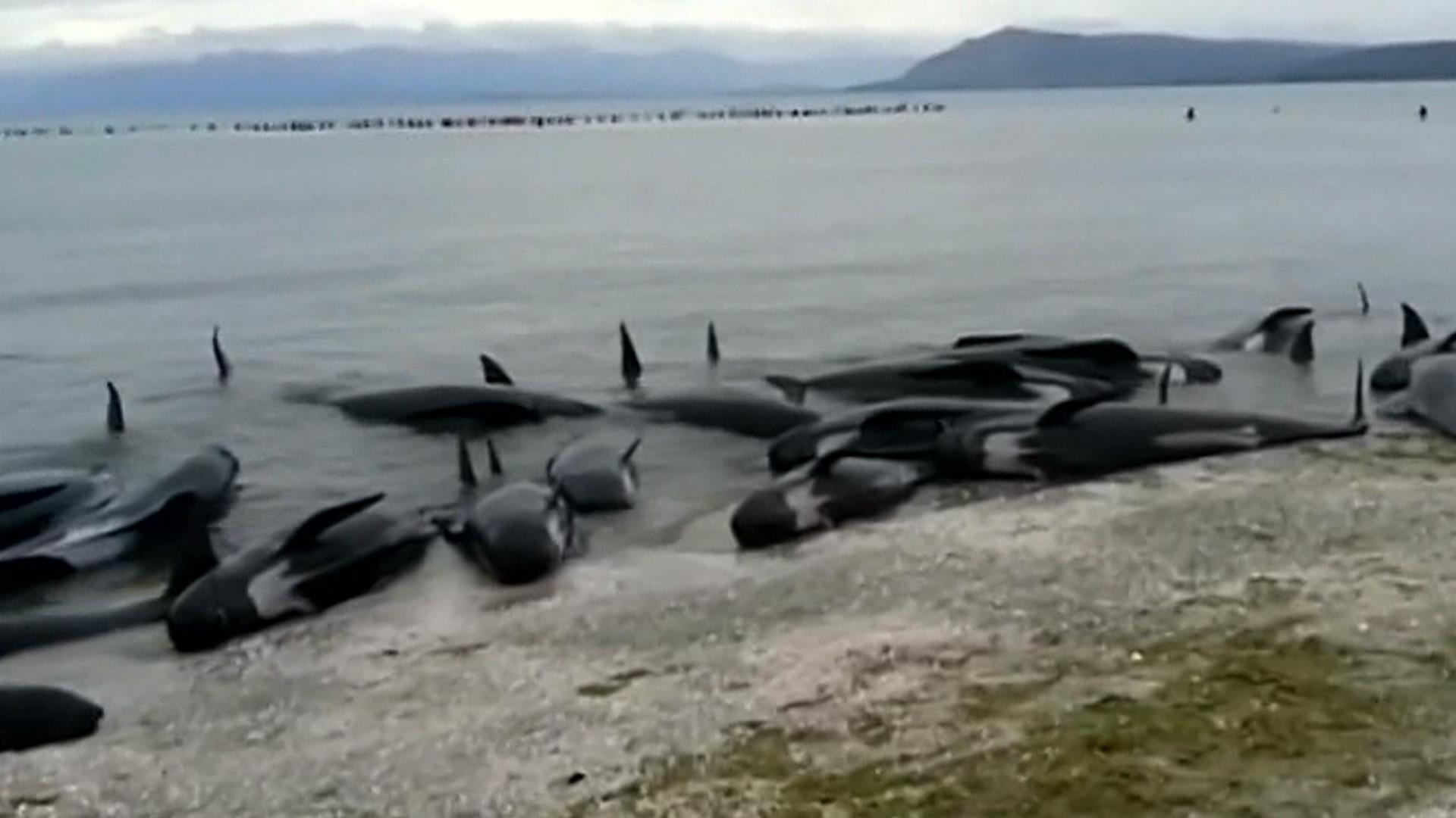 Rescuers Fight To Save Hundreds Of Pilot Whales Beached In New