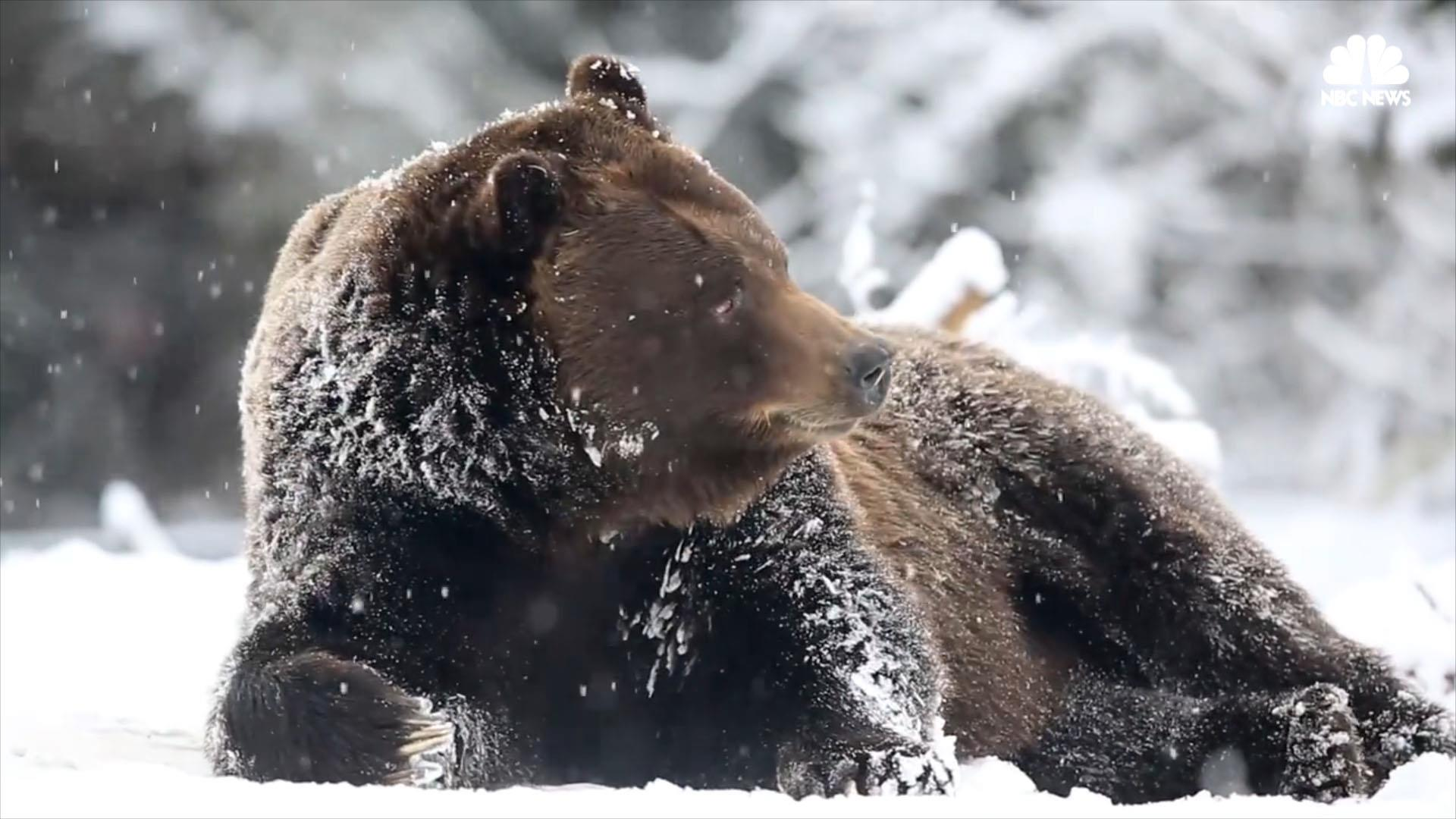 Watch Grizzly Bear and Arctic Fox Enjoy Their Snow Day
