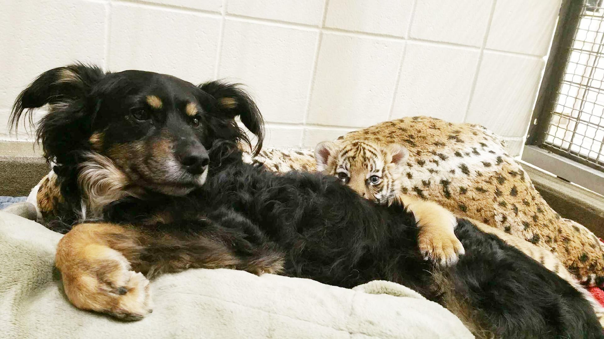 See This Australian Shepherd Playing Parent To These Tiger