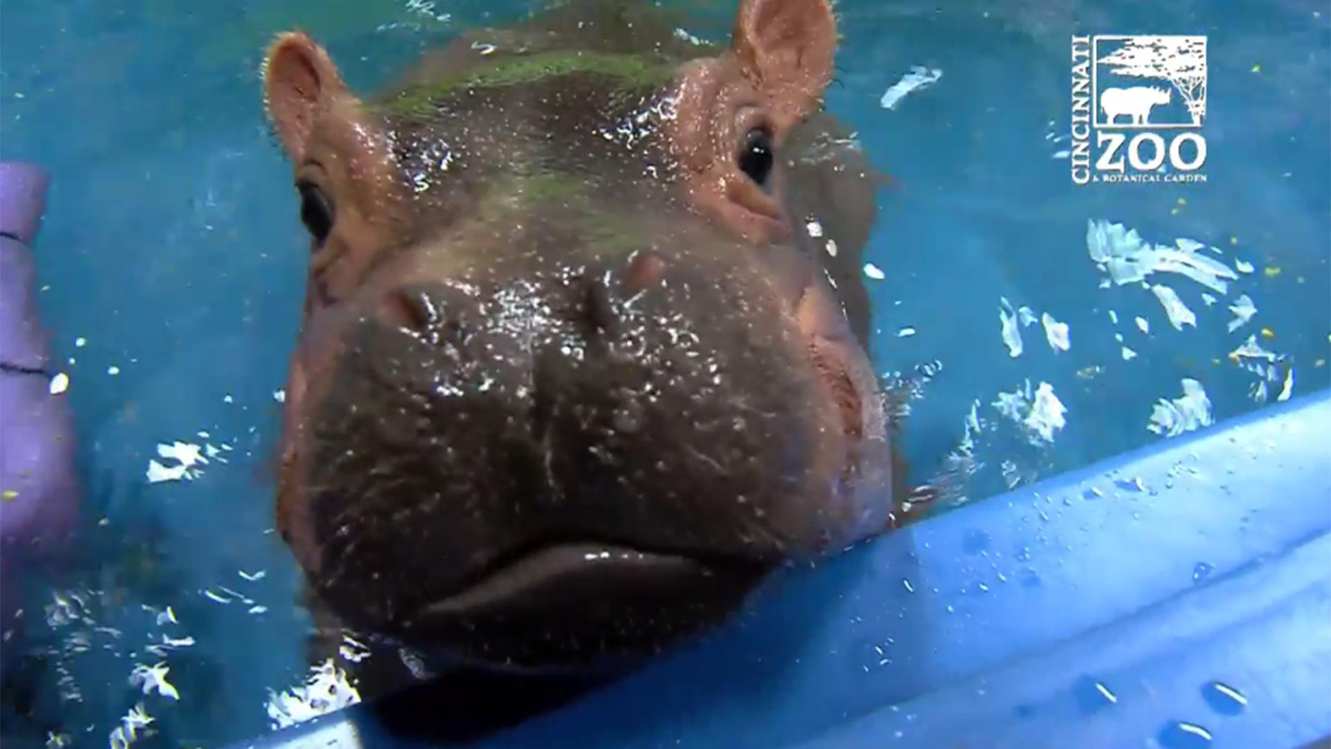 Watch Fiona The Hippo Take A Dive Today Com