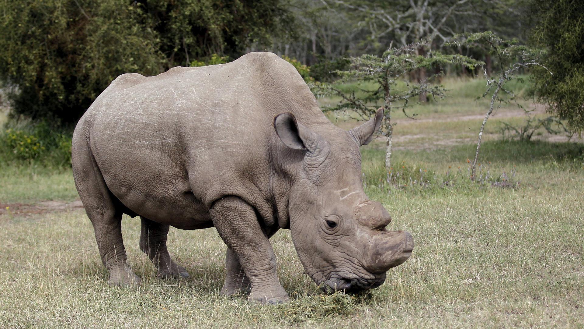 Last Male White Rhino Joins Tinder