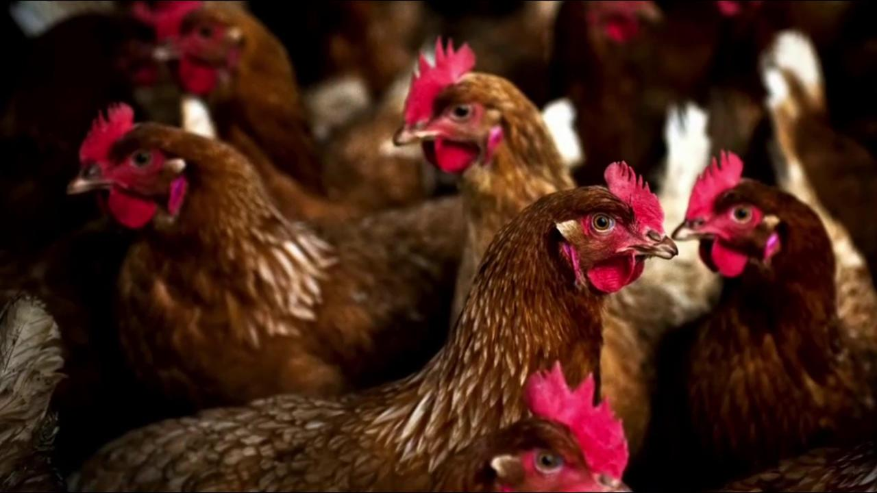 salmonella outbreak in chicken