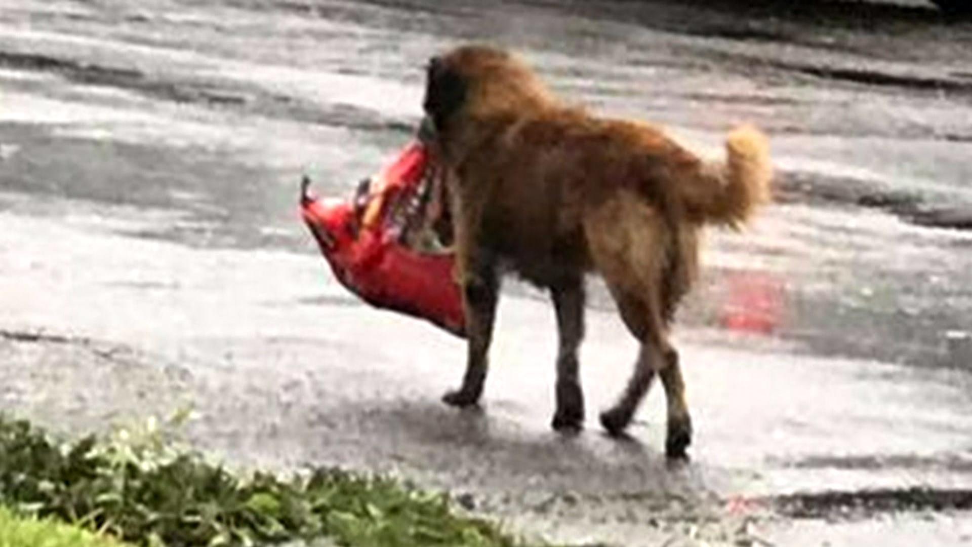 Video Of Dog Carring Dog Food In Hurricaine Harvey