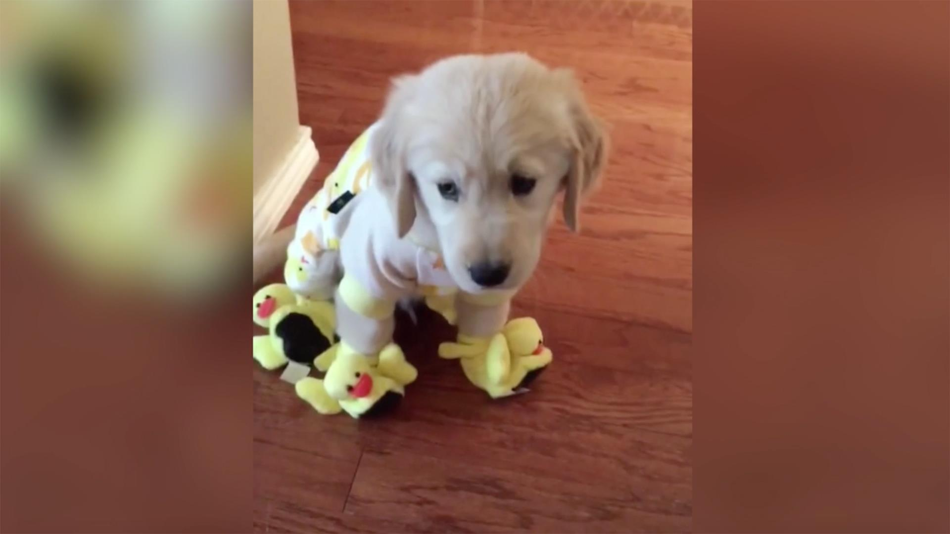 golden retriever pajamas this adorable golden retriever in duck pajamas and 4363