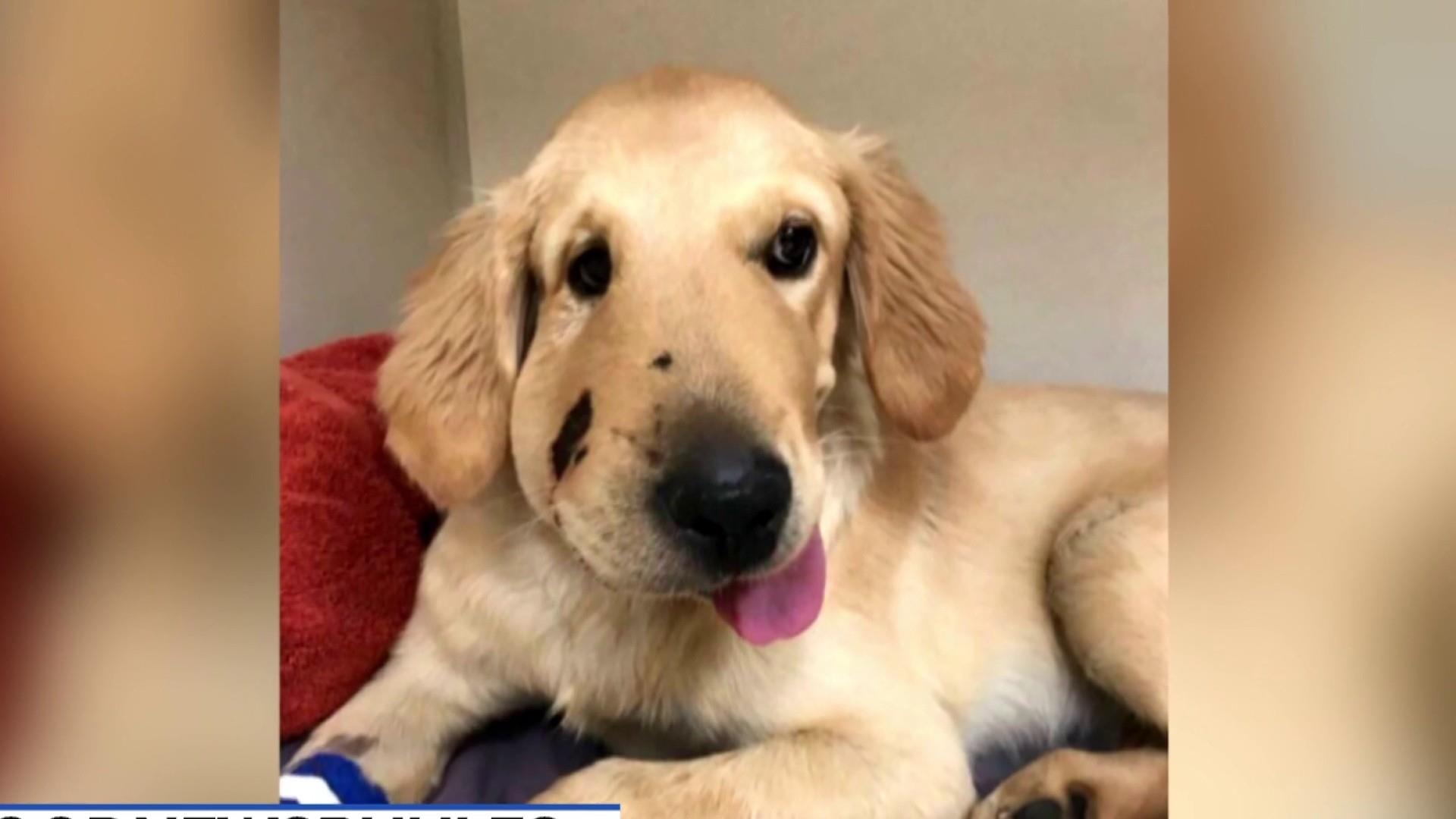 Golden retriever puppy saves owner from rattlesnake