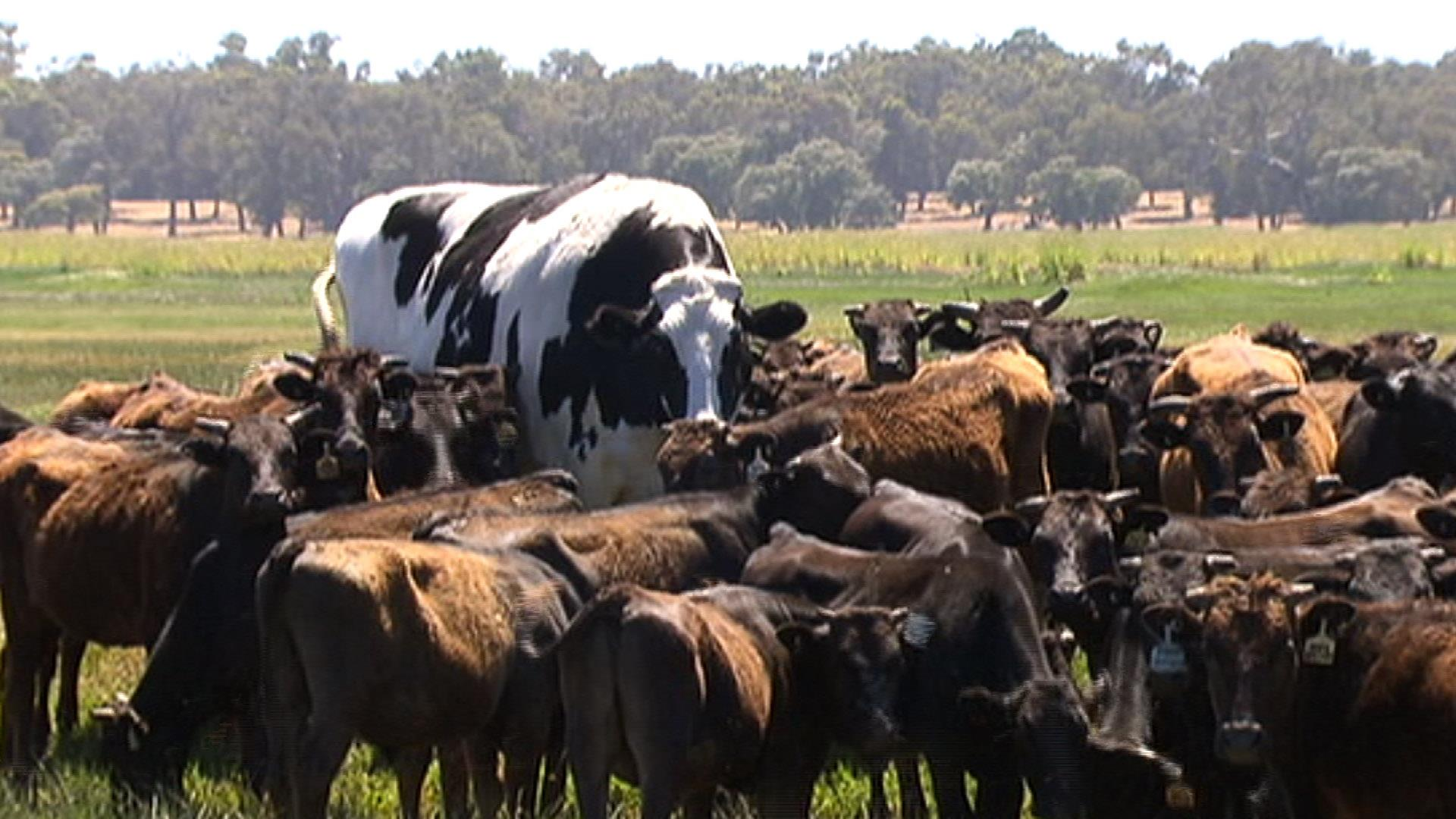 Knickers The Giant Steer Is Believed To Be Australia S Largest Cow