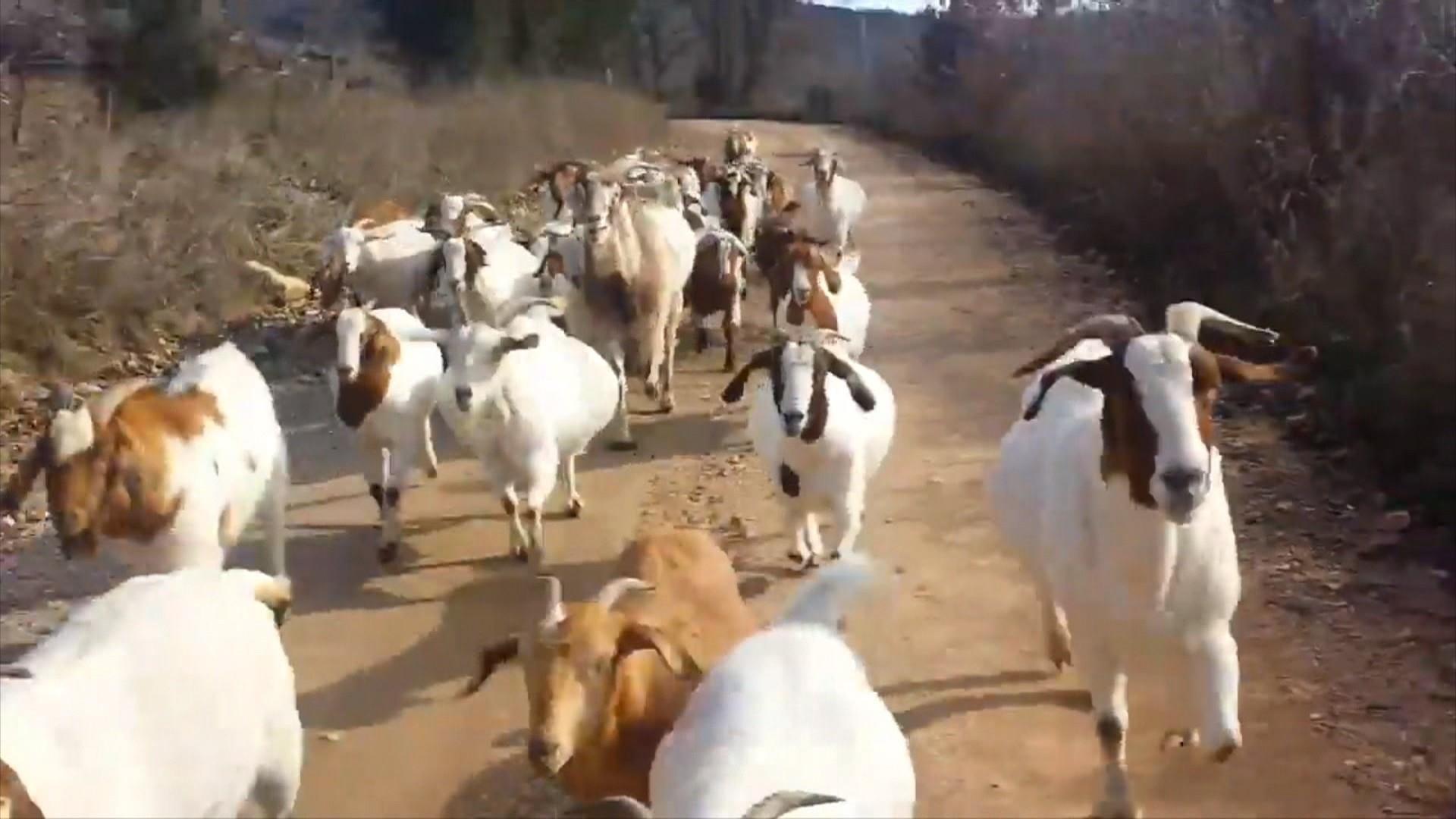 watch a herd of goats gallop alongside jogger