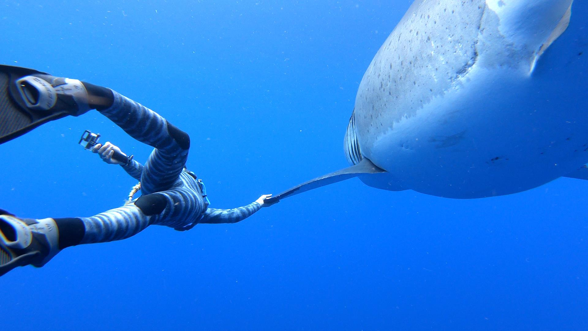 Hawaii divers swim with one of the biggest great white sharks