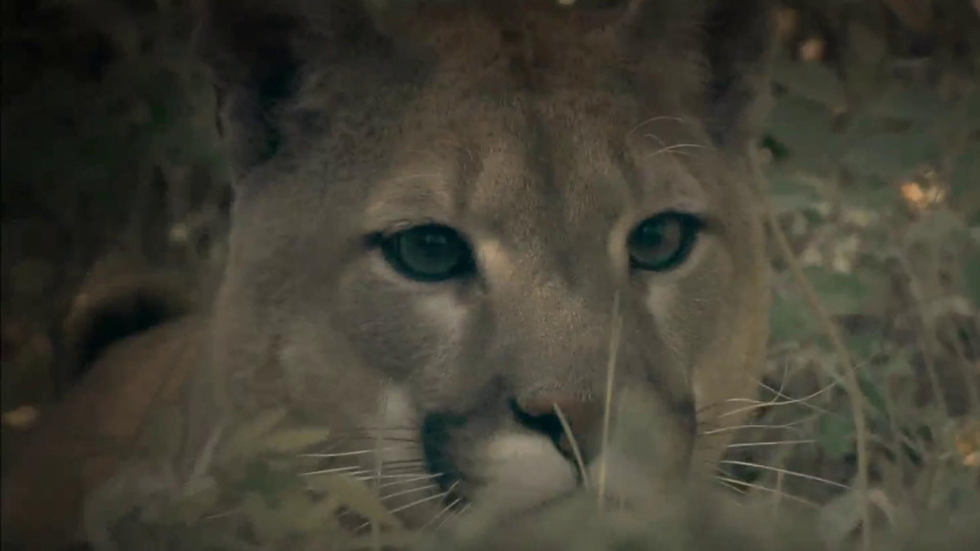 Colorado runner who killed mountain lion suffocated him in 'fight for survival'