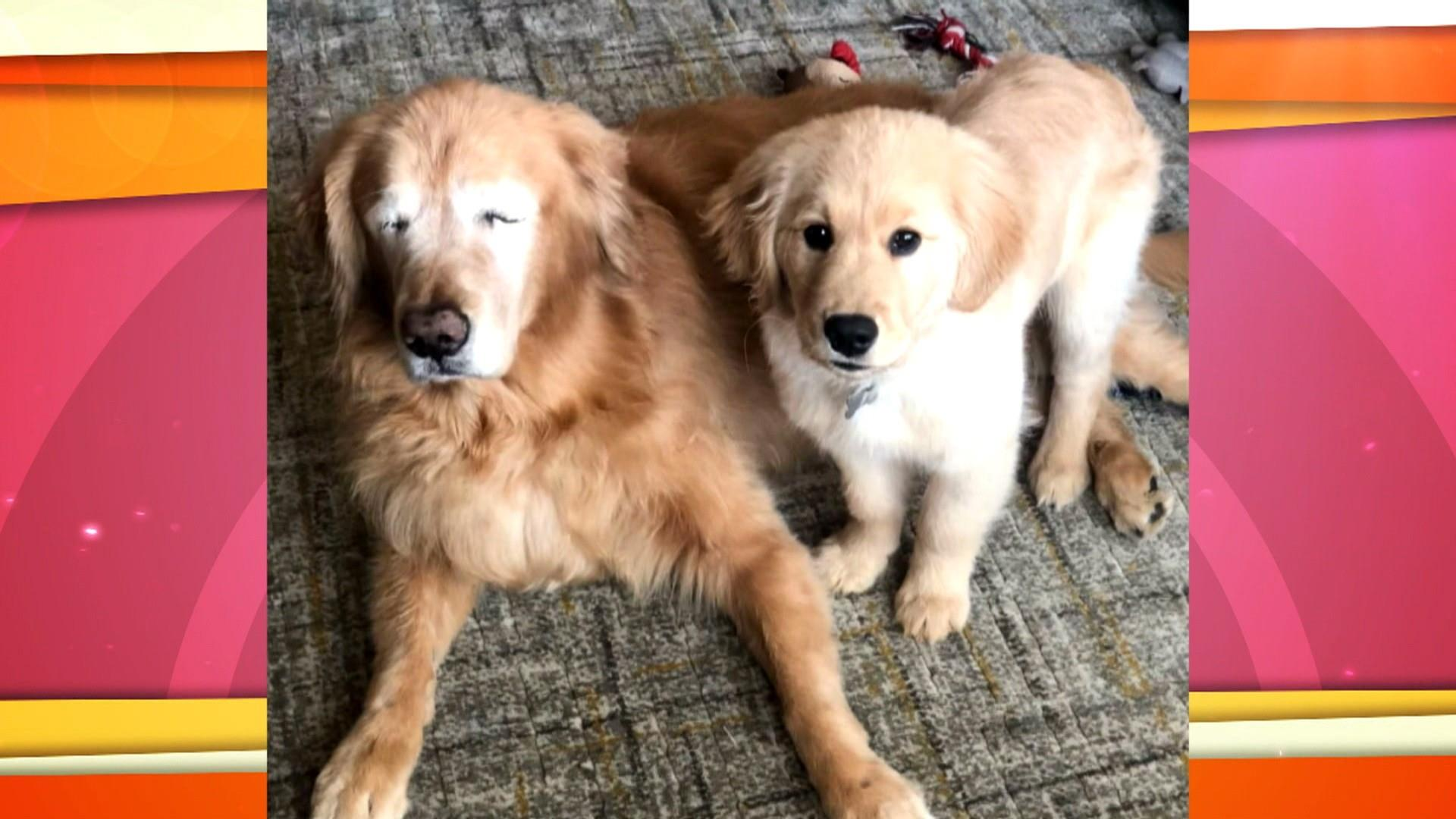Blind golden retriever has 'Seeing Eye' puppy to help him out