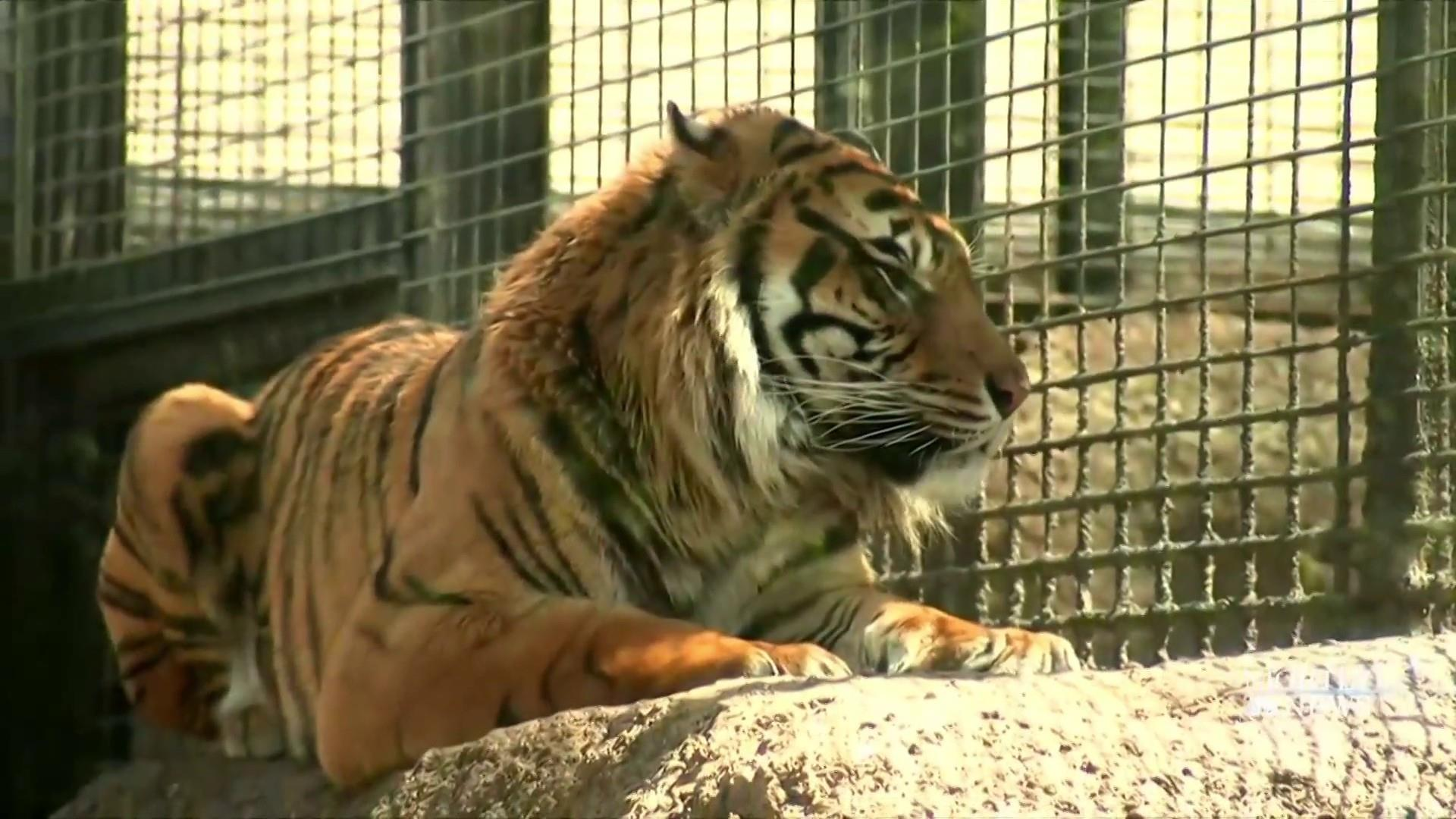 Zookeeper recovering in the hospital after tiger attack