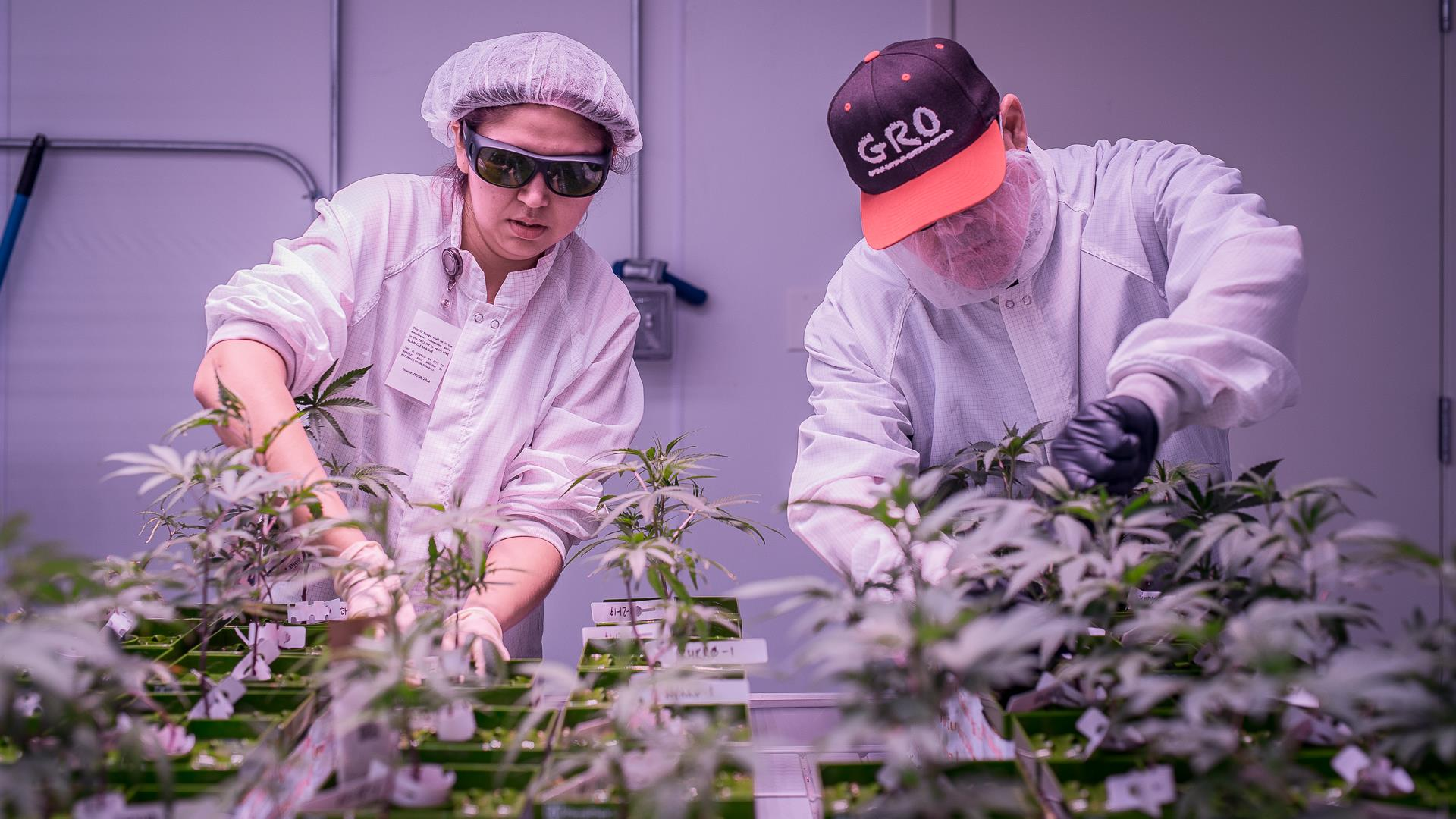 Pot, pain and profit: A desert town turns to cannabis for jobs and an alternative to painkillers
