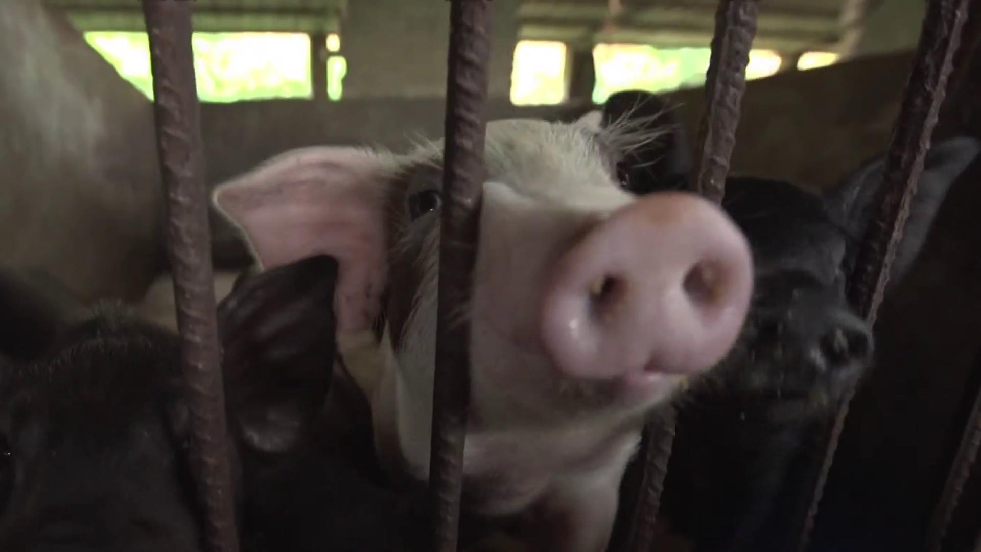 Swine flu ravages China's pig farms, driving up pork prices worldwide