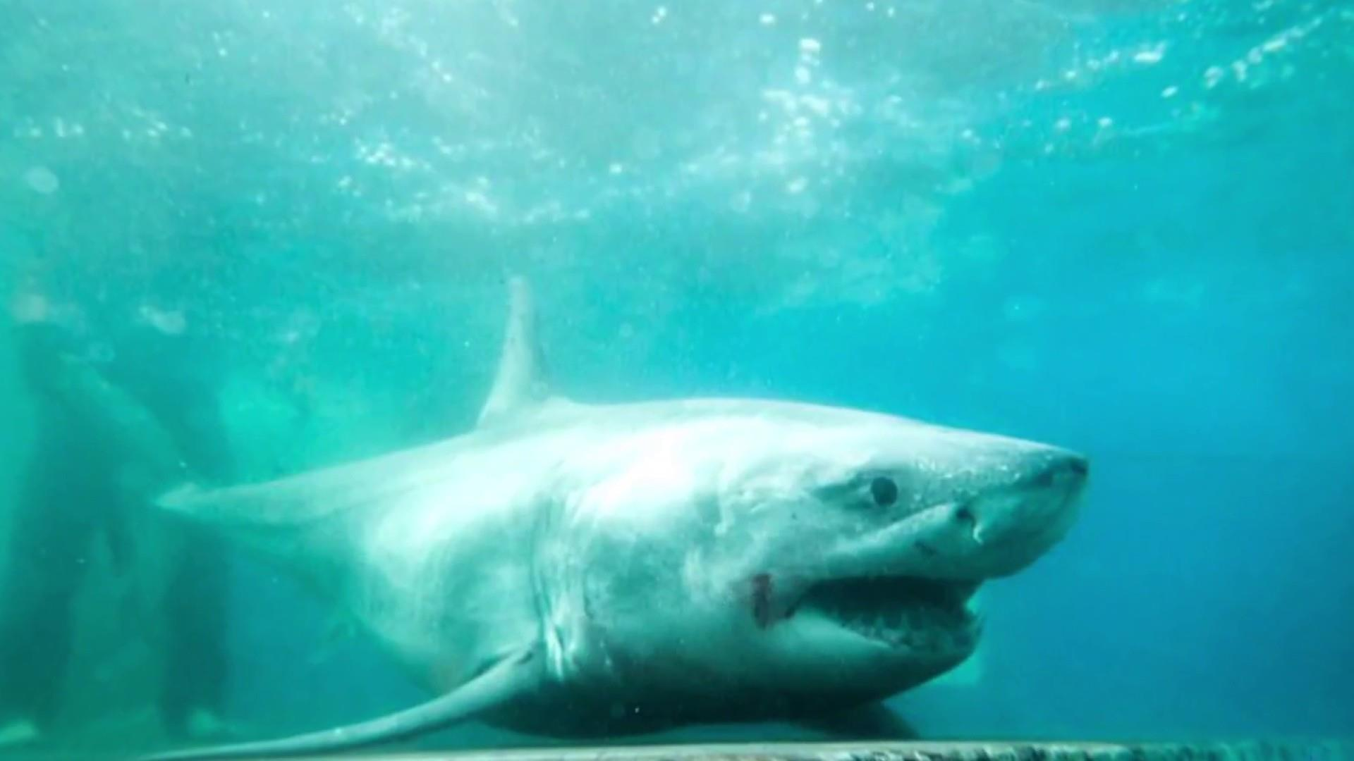 Great white shark tracked in Long Island Sound for first time