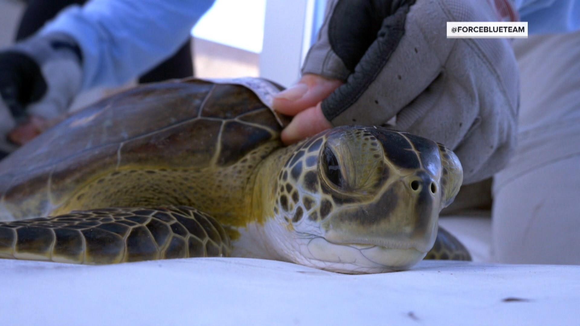 Marine scientists team up with combat veterans to save sea turtles