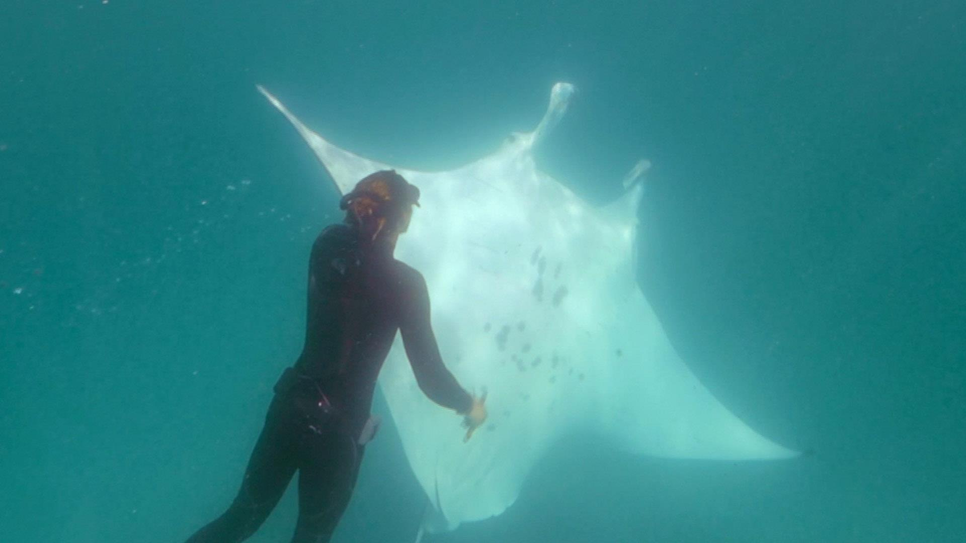 Manta ray rescued after seemingly approaching Australian snorkelers for help