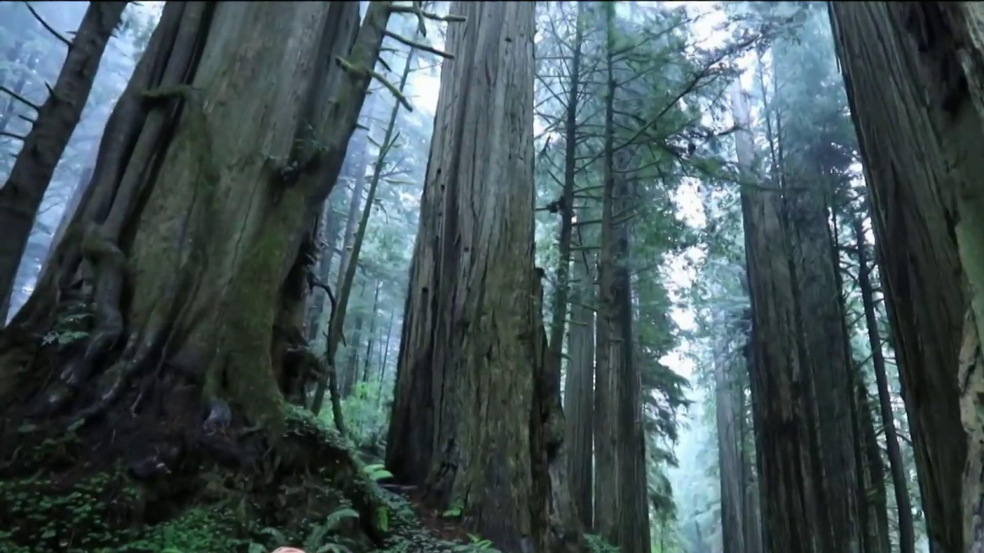 Cloning giant redwoods could help combat climate change