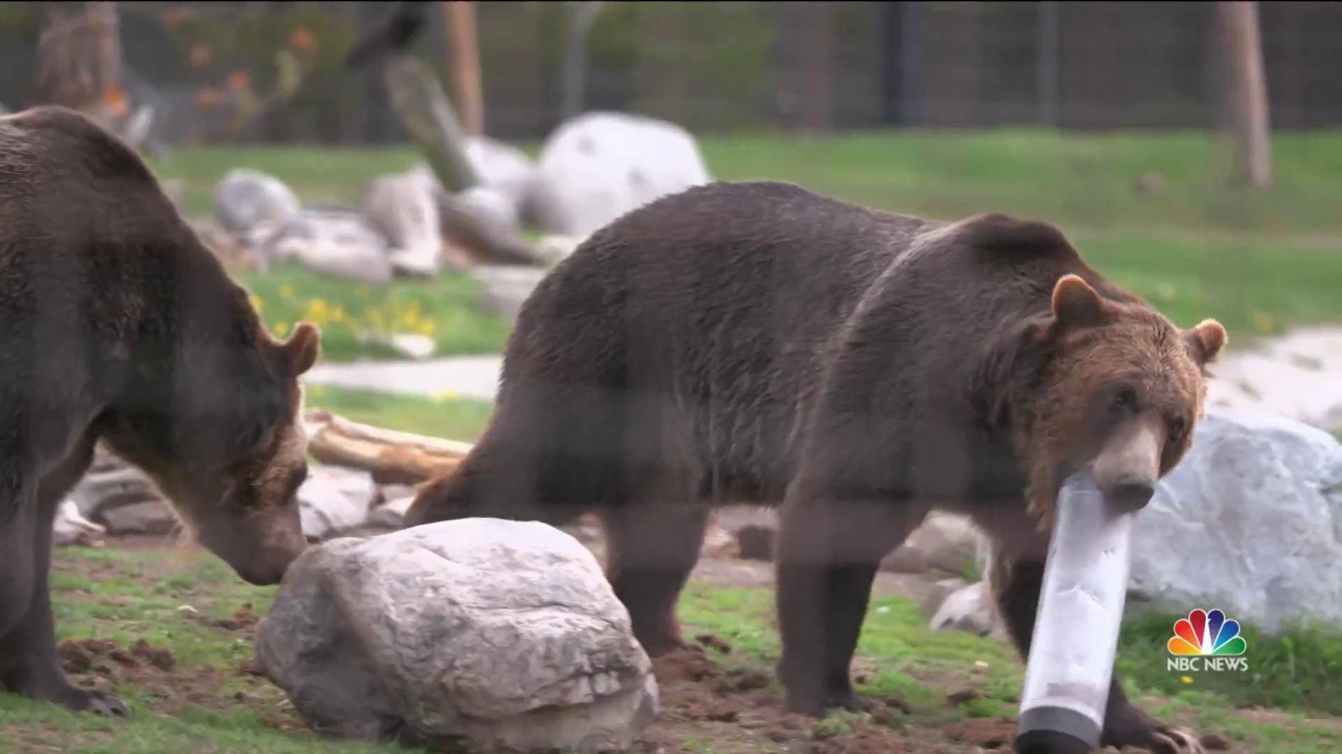Is it bear-proof? Grizzlies put products to the test at Montana wildlife park