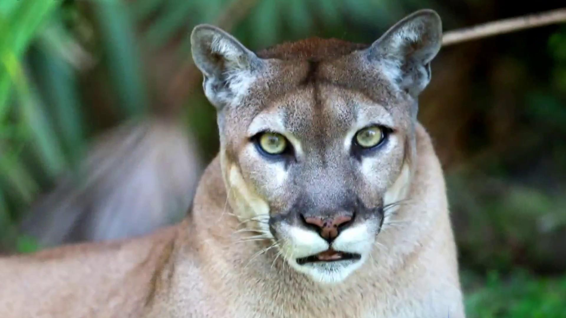 Mysterious illness threatening Florida's panthers